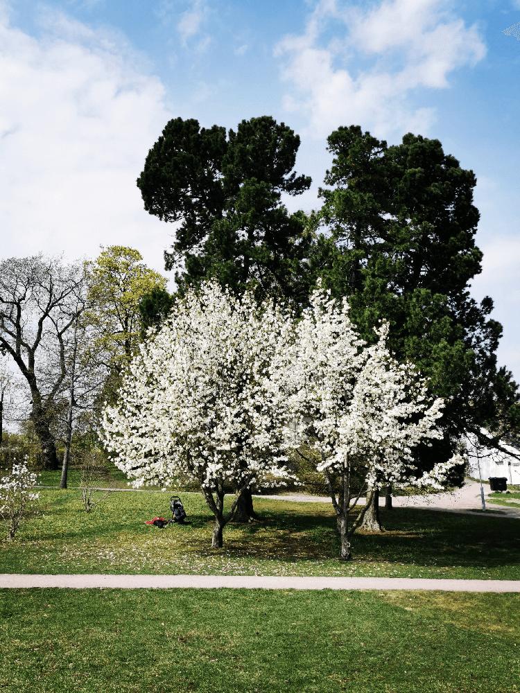 Trær blomstrer i Frognerparken- Nordic photodesign
